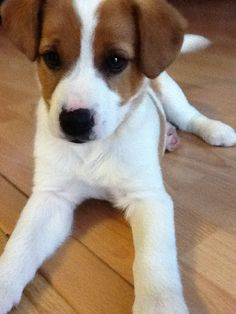 Jack Russell puppy...watching the ball, watching the ball...waiting for it to jump!♥