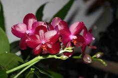 phalaenopsis  hieroglyphica x lueddemanniana    Phalaenopsis Sogo Bomb Phalaenopsis schilleriana