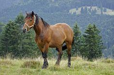 Pferderassen: Der Tinker...