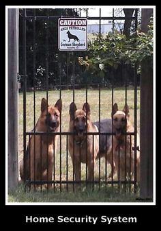 The Walker family Shepherds, Redd, Bull and Missy, on the job.