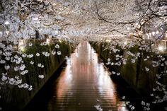 Blossoms (and walkway? canal?), Nakameguro, Tokyo, Japan