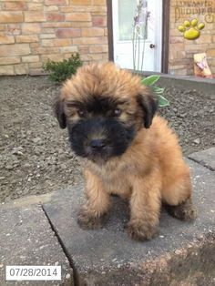 Soft Coated Wheaten Terrier Puppy