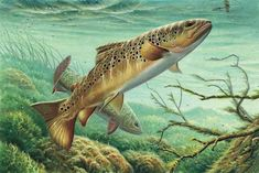 paintings of brown trout - Google Search