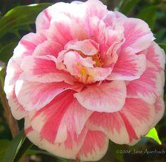 Camellia japonica 'Herme'