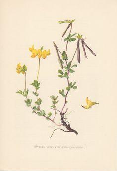 1953 Bird's-foot Trefoil, Antique Botanical Print, Vintage Lithograph, Lotus corniculatus, Birdfoot Deervetch, Fabaceae, Botany, Garden