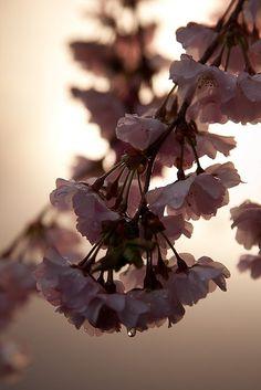 Cherry Blossoms Back Lit by richard.haber, via Flickr