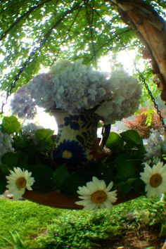 Blushing Bride Hydrangeas and Daises Blushing Bride Hydrangea, Carolina Blue, Hydrangeas, Pure White, Blush Pink, Gardening, Pure Products, Plants, Light Rose