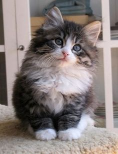 Siberian kitten. So cute, and possibly the only breed I may not be allergic too.....omg want!
