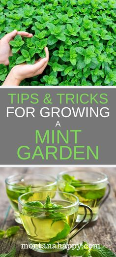 herb garden Tips and Tricks for Growing a Mint Garden will teach you how to grow this amazing herb. Creating mint gardening beds will give you an abundance (fresh leaves and dried) all year long. Growing Mint, Growing Herbs, Growing Vegetables, Gardening For Beginners, Gardening Tips, Flower Gardening, Flowers Garden, Gardening Zones, Gardening Services