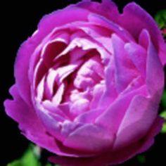 La Reine Victoria   Garden Roses