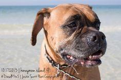 Pet Photography | © 2013 Justin Scott Hunt of Owen Hunt Photography | Dogs | Boxers | Clearwater, FL | @DieselK9to5  | Honeymoon Island