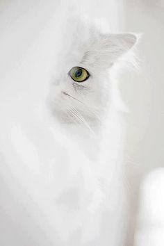 Beautiful! Inspiration for Miu Miu, Aunt Venetia's cat in #modelundercover