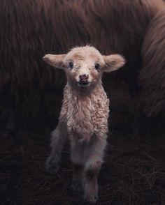 """62.7k Likes, 1,000 Comments - Konsta Punkka (@kpunkka) on Instagram: """"~ Happy new born lamb ready to explore the world. ❤️"""""""
