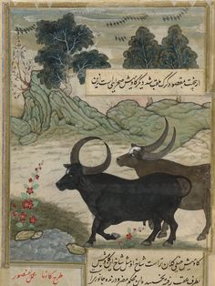 Two Wild Buffalo in a Landscape. From a Baburnama made for the emperor Akbar ca. 1589. His ancestor Babur's memoirs include detailed descriptions of the animals and flowers that he encountered after his arrival in India in 1526. (Freer-Sackler)