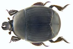 Family: Histeridae Size: 6 to 8.5 mm Origin: Europe Ecology: especially in old bird nests in hollow trees, in dung, in decaying vegetable matter Location: Corsica, Ghisonaccia leg.det. U.Schmidt, 1973 Photo: U.Schmidt, 2009 Bugs, Insect Orders, Beetle Insect, Bird Nests, Corsica, Science And Nature, Schmidt, Ecology, Grande