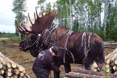 Only in Alaska . This guy raised an abandoned moose calf with his horses, and believe it or not, he has trained it for lumber removal and other hauling tasks. That's just nuts! Rare Animals, Animals And Pets, Funny Animals, Moose Hunting, Bull Moose, Moose Antlers, Alaska Hunting, Work With Animals, Art Africain