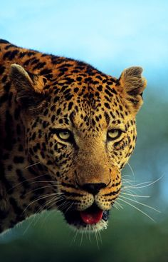 musts:© Rudi Hulshof { website | facebook | twitter | blog }Leopard