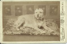 c.1880s cabinet card of a scruffy dog wearing a fancy collar, lying on a woven rug in a photographer's studio. Photo by H. F. Van Woert, Oneonta, N.Y. From bendale collection