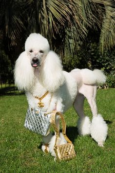 Fancy #chanel dog!
