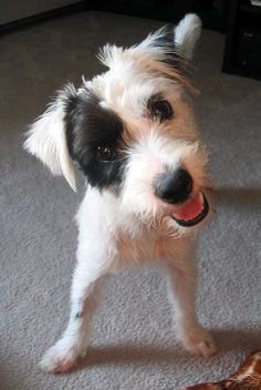 Google Image Result for http://cdn-www.dailypuppy.com/media/dogs/anonymous/patches_jack_russell_terrier_mix_10.jpg_w450.jpg