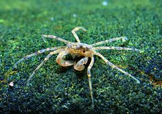 """Limnopilos naiyanetri (Thai Micro Crab) - 0.4"""" peaceful, reclusive, fully aquatic freshwater crab from Thailand, best kept in groups. photo © Chris Lukhaup"""