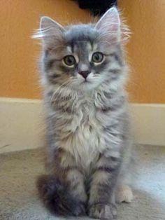 surrey (indoor only kittens)