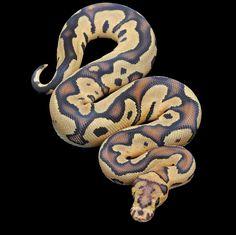 Fire Clown Ball Python Pretty Snakes, Cool Snakes, Beautiful Snakes, Animals Beautiful, Cute Animals, Types Of Snake, Ball Python Morphs, Python Snake, Quokka