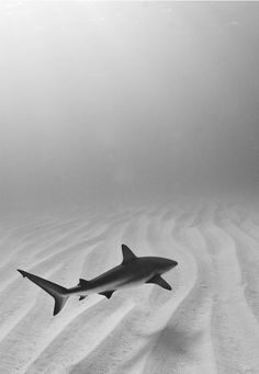 The Last of its KindSharks throughout the world are being destroyed at a devastating rate for shark fin soup and other human causes. This image of a lonely reef shark cruising over a desert of sand was captured to help portray the importance of conservation before we lose them FOREVER. Photo byLaz Ruda.