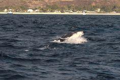 Des baleines, des baleines... Whale, Animals, Vacation Resorts, Whales, Animales, Animaux, Animal, Animais
