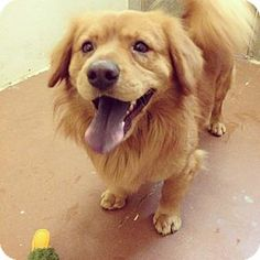 Chino Hills, CA - Golden Retriever/Chow Chow Mix. Meet Jasper a Dog for Adoption.
