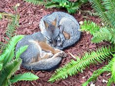 Facebook foxes capture hearts of employees- Furry critters raise a family on the company campus and become unofficial mascots; of course, they get their own FB page-FBfox:Josh Frankel