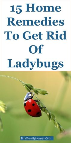 15 Home Remes To Get Rid Of Ladybugs Asian Lady Beetles This Guide