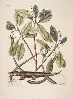 Rhizophora mangle L. Red Mangrove Catesby Volume II plate 63