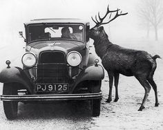 Nosy Reindeer Old Car Unusual Deer Weird Vintage Photography 1930s 1920s Winter Snow Black & White Photography Photo Print
