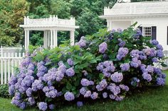 Easy-Growing Flowers for Fences: Hydrangeas