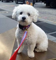 Violet the Bichon Frise / Poodle Mix