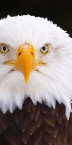 Eagle.... this is my all time Favorite pin for our American Bald Eagle!!!! It is just such a majestic bird and this is such a fabulous close up!!!!!