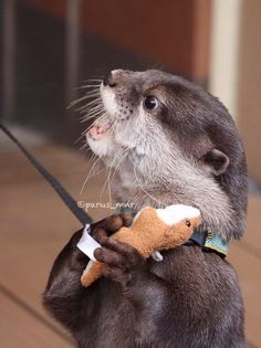 Otter loves his new otter toy  From parus_mnr: https://twitter.com/parus_mnr/status/583248754993590273