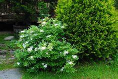 "Rhododendron arborescens 'White Lightening"""