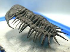 http://www.fossilmuseum.net/Fossil_Galleries/TrilobitesMorocco/Crotalocephalus/07005G.jpg
