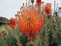 """Leucospermum reflexum """"Rocket Pincushion"""" Indigenous to South Africa."""
