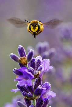 Bumblebee coming straight toward you in for a purple flower landing http://www.pinterest.com/DianaDeeOsborne/flowers-beyond-expected ….. PHOTO:  http://www.flickr.com/photos/traso/3619516147/