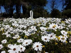 Carpets of white daisies in front of the bell tower by the Camphill chapel.
