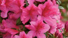 State Wildflower: Azalea