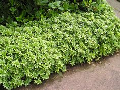 Pachysandra is a favorite ground cover plant in hardtoplant areas such as under trees, or in shady areas with poor or acidic soil. Read here to find tips for growing pachysandra in your landscape.