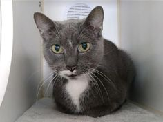 JAZZY - 21463 - - Manhattan  *** TO BE DESTROYED 03/05/18 *** A volunteer writes: Up until a few weeks ago, 11-year-old Jazzy was living in the home she'd been in since she was a kitten-when her owner relinquished her to the Care Center because of a move to a no-pets apartment. But here's the upside: As disheartening as this transition has been, Jazzy has remained as sweet and friendly as ever. She won over volunteers with her dainty, slightly shy demeanor, and