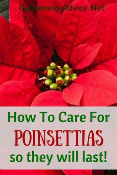 All you need to know about Poinsettia Care to have gorgeous looking plants way beyond Christmas! Learn how to care for your Poinsettias so they keep flowering.