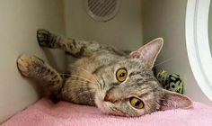 BRIGHTON - A1113791 - - Manhattan  *** TO BE DESTROYED 06/10/17 *** A volunteer writes: There is more to Brighton than meets the eye. Her behavior evaluation says that she is independent, and it does seem like she's a little apprehensive when I approach her cage. But as I get closer, I start to hear her purring. I give her a catnip pillow and all shyness melts away – she's rolling around, purring, pushing her head against my hand. Give this girl a chance a