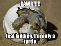 RAWR IM A TURTLE! When i grow up , i will be GAMERA , The Flying Turtle From Creature Double Feature, so be nice to me now while i`m little & i`ll be your friend : ) Cute Baby Animals, Funny Animals, Wild Animals, Animal Babies, Newborn Animals, Angry Animals, Talking Animals, Party Animals, Nature Animals