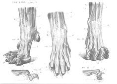 Lion anatomy - paws